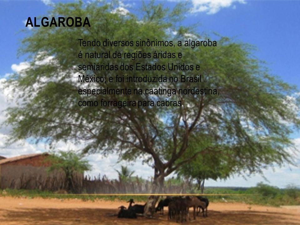 ALGAROBA Tendo diversos sinônimos, a algaroba é natural de regiões áridas e semiáridas dos Estados Unidos e México, e foi introduzida no Brasil especi