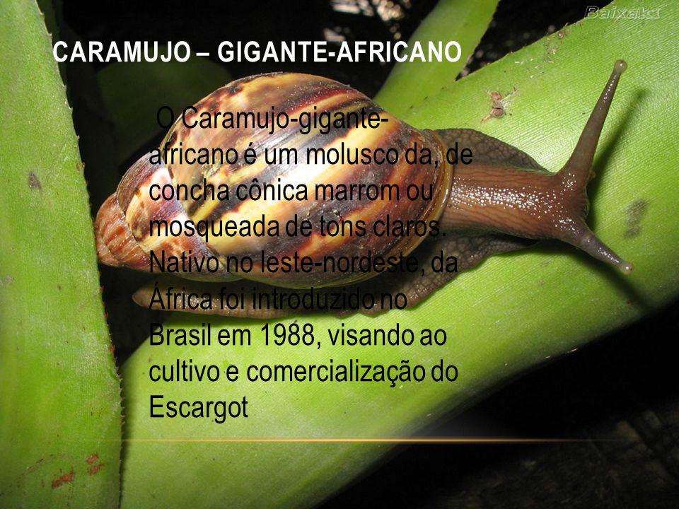CARAMUJO – GIGANTE-AFRICANO O Caramujo-gigante- africano é um molusco da, de concha cônica marrom ou mosqueada de tons claros. Nativo no leste-nordest