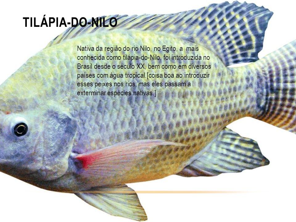 TILÁPIA-DO-NILO Nativa da região do rio Nilo, no Egito, a mais conhecida como tilápia-do-Nilo, foi introduzida no Brasil desde o século XX, bem como em diversos países com água tropical.[coisa boa ao introduzir esses peixes nos rios, mas eles passam a exterminar espécies nativas.]