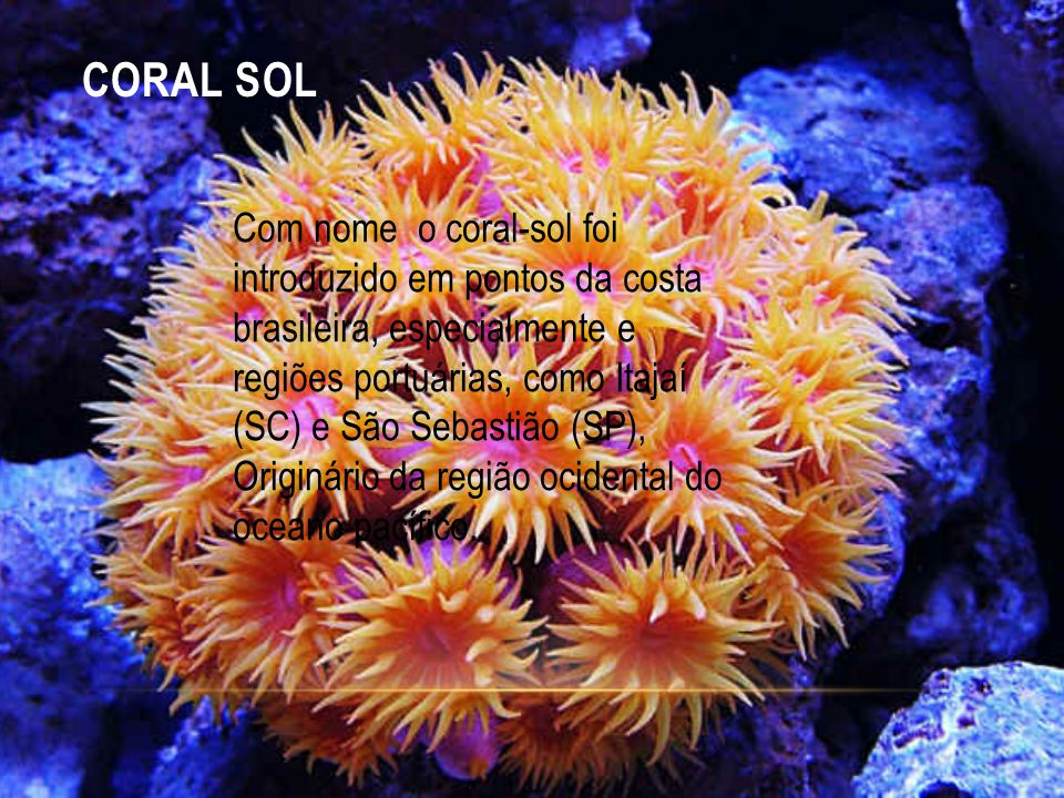 CORAL SOL Com nome o coral-sol foi introduzido em pontos da costa brasileira, especialmente e regiões portuárias, como Itajaí (SC) e São Sebastião (SP), Originário da região ocidental do oceano pacífico.