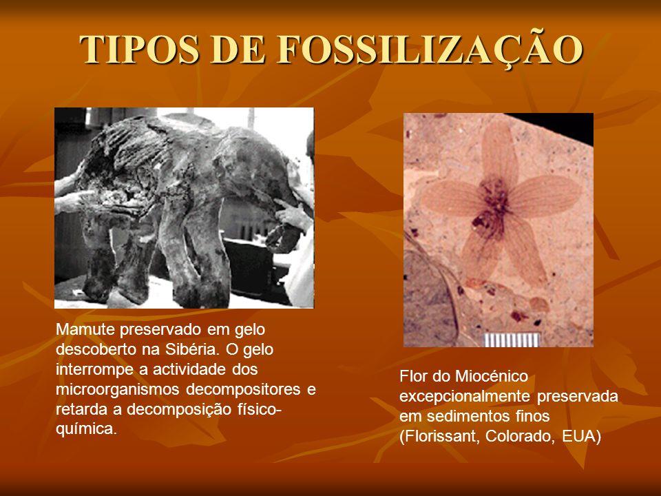 TIPOS DE FOSSILIZAÇÃO Flor do Miocénico excepcionalmente preservada em sedimentos finos (Florissant, Colorado, EUA) Mamute preservado em gelo descoberto na Sibéria.