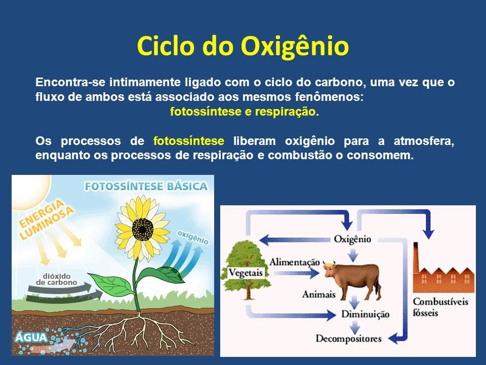Ciclo do Oxigênio Encontra-se intimamente ligado com o ciclo do carbono, uma vez que o fluxo de ambos está associado aos mesmos fenômenos: fotossíntese e respiração.