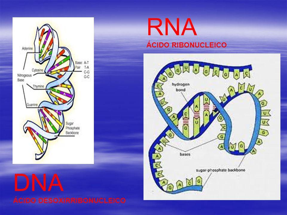 DNA ÁCIDO DESOXIRRIBONUCLEICO RNA ÁCIDO RIBONUCLEICO