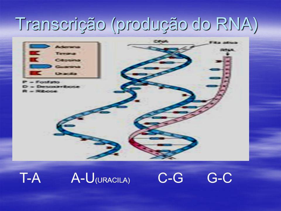 Transcrição (produção do RNA) T-A A-U (URACILA) C-G G-C