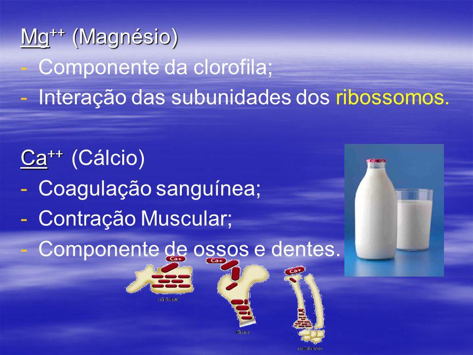Mg ++ (Magnésio) - -Componente da clorofila; - -Interação das subunidades dos ribossomos.