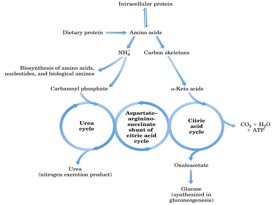 Metabolismo dos aminoácidos Bioquímica Prof. Msc Brunno Macedo Aula 6 Aminoácidos