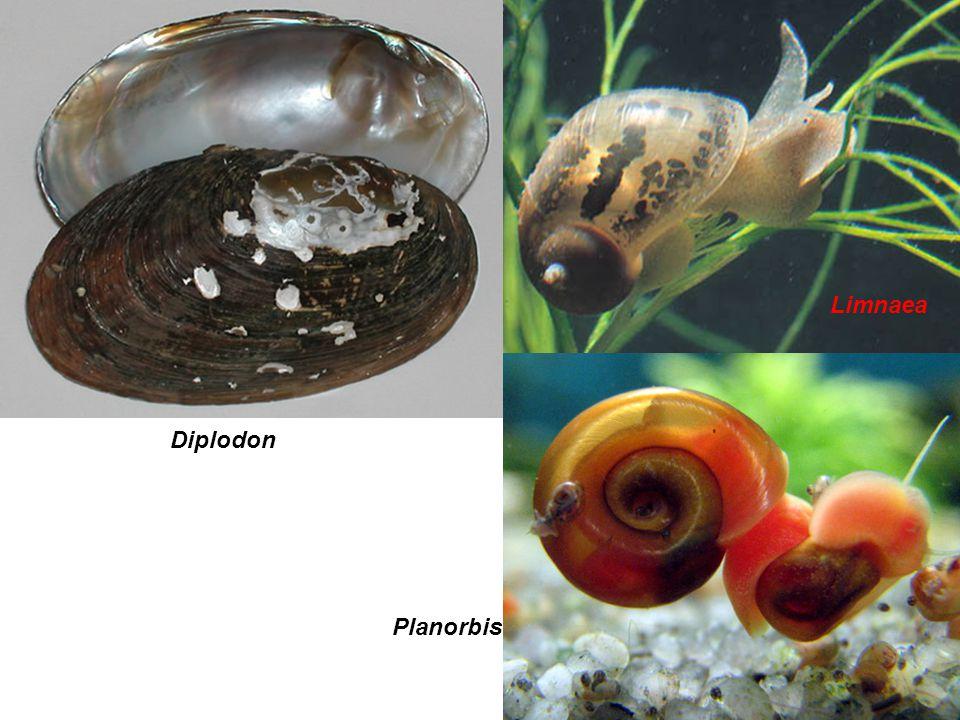 Diplodon Limnaea Planorbis Limnaea