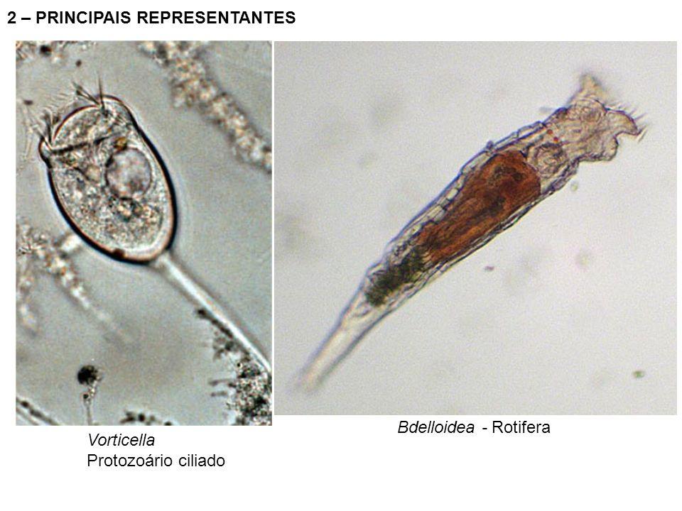 2 – PRINCIPAIS REPRESENTANTES Bdelloidea - Rotifera Vorticella Protozoário ciliado