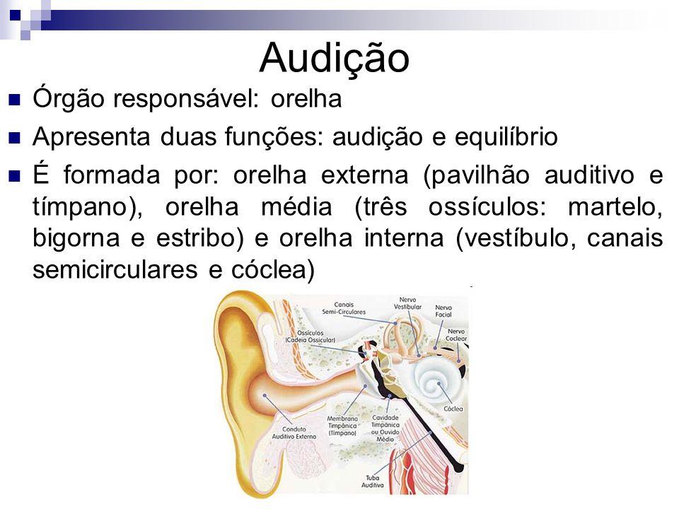 Audição Órgão responsável: orelha Apresenta duas funções: audição e equilíbrio É formada por: orelha externa (pavilhão auditivo e tímpano), orelha média (três ossículos: martelo, bigorna e estribo) e orelha interna (vestíbulo, canais semicirculares e cóclea)
