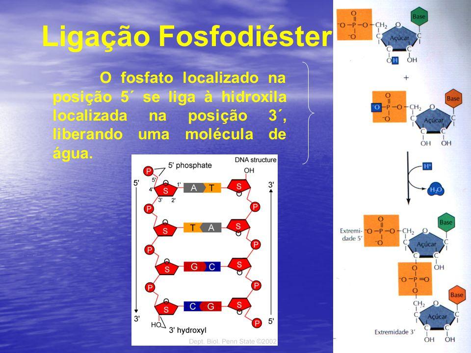 Ligação Fosfodiéster O fosfato localizado na posição 5´ se liga à hidroxila localizada na posição 3´, liberando uma molécula de água.