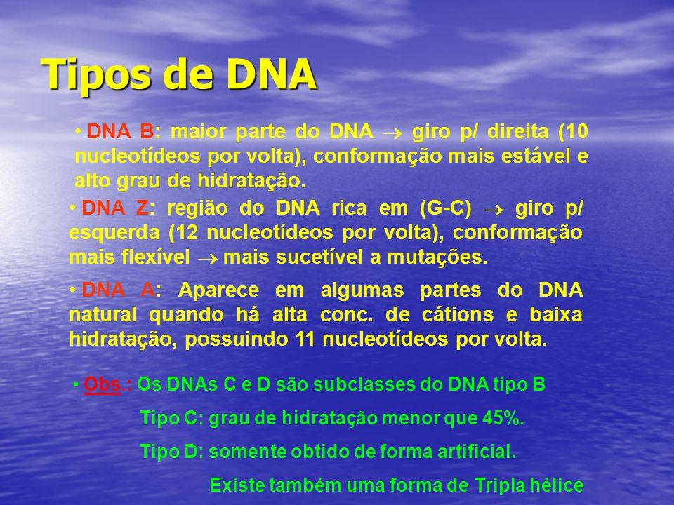 Tipos de DNA DNA B: maior parte do DNA  giro p/ direita (10 nucleotídeos por volta), conformação mais estável e alto grau de hidratação. DNA Z: regiã