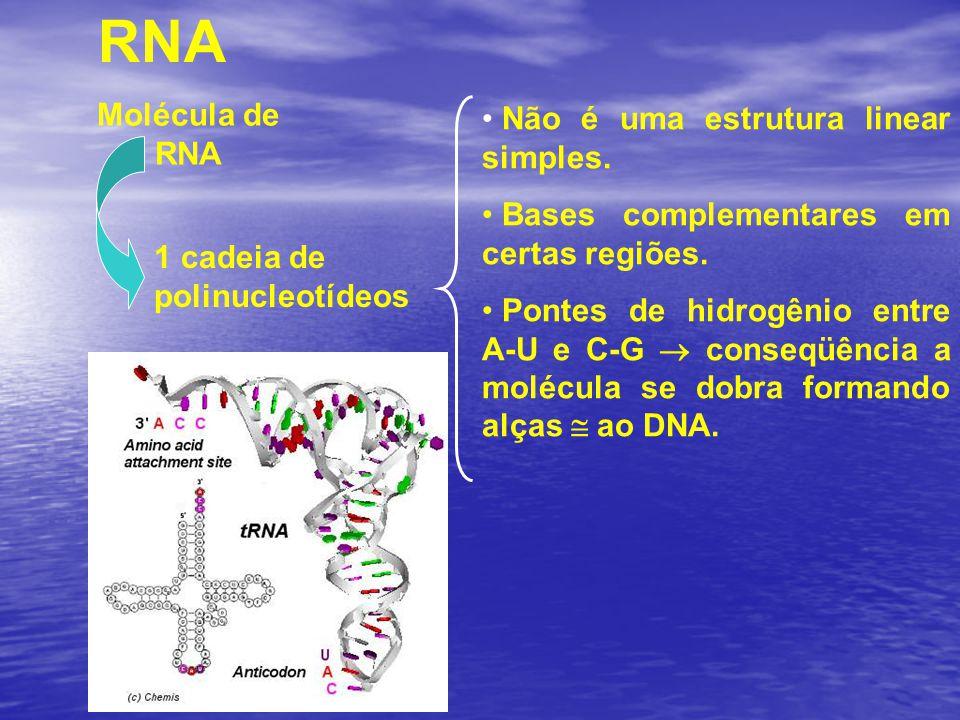 RNA Molécula de RNA 1 cadeia de polinucleotídeos Não é uma estrutura linear simples. Bases complementares em certas regiões. Pontes de hidrogênio entr