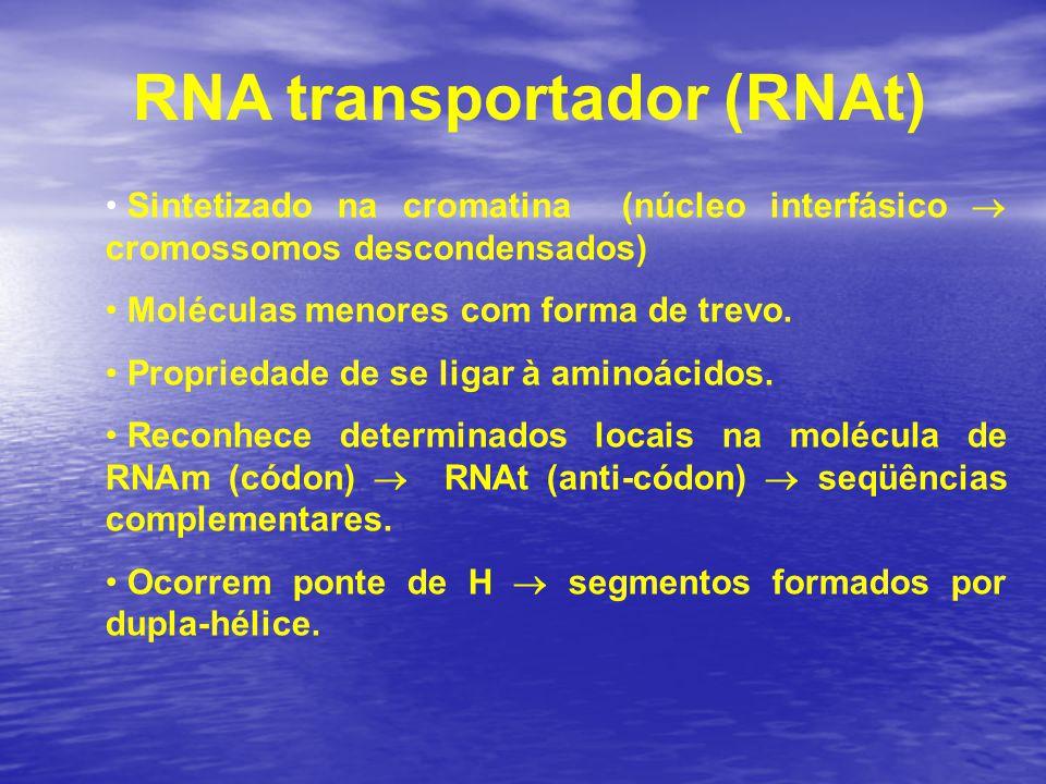 RNA transportador (RNAt) Sintetizado na cromatina (núcleo interfásico  cromossomos descondensados) Moléculas menores com forma de trevo. Propriedade
