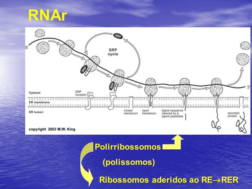 RNAr Ribossomos aderidos ao RE  RER Polirribossomos (polissomos)