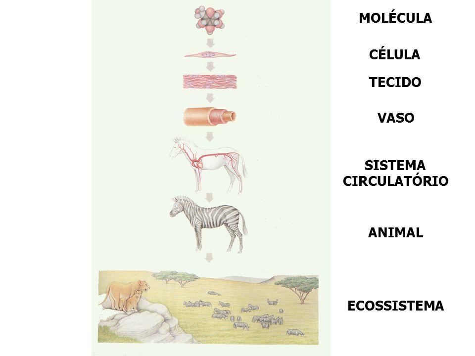 MOLÉCULA CÉLULA TECIDO VASO SISTEMA CIRCULATÓRIO ANIMAL ECOSSISTEMA