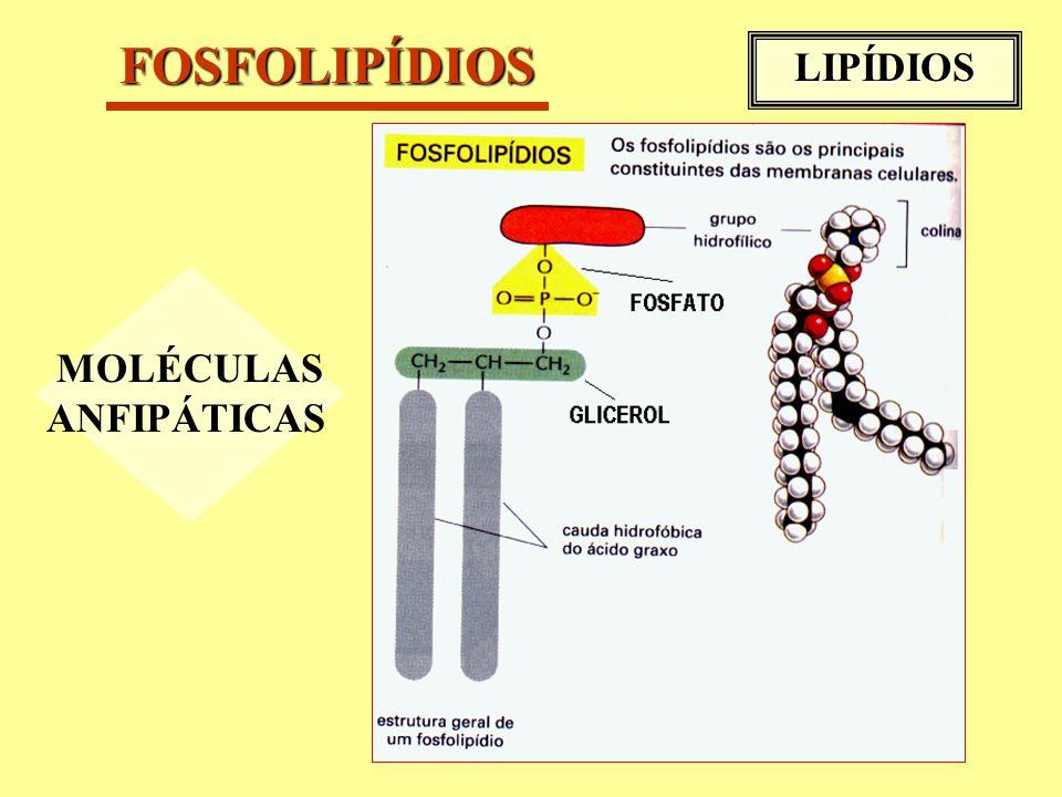 FOSFOLIPÍDIOS MOLÉCULAS ANFIPÁTICAS LIPÍDIOS