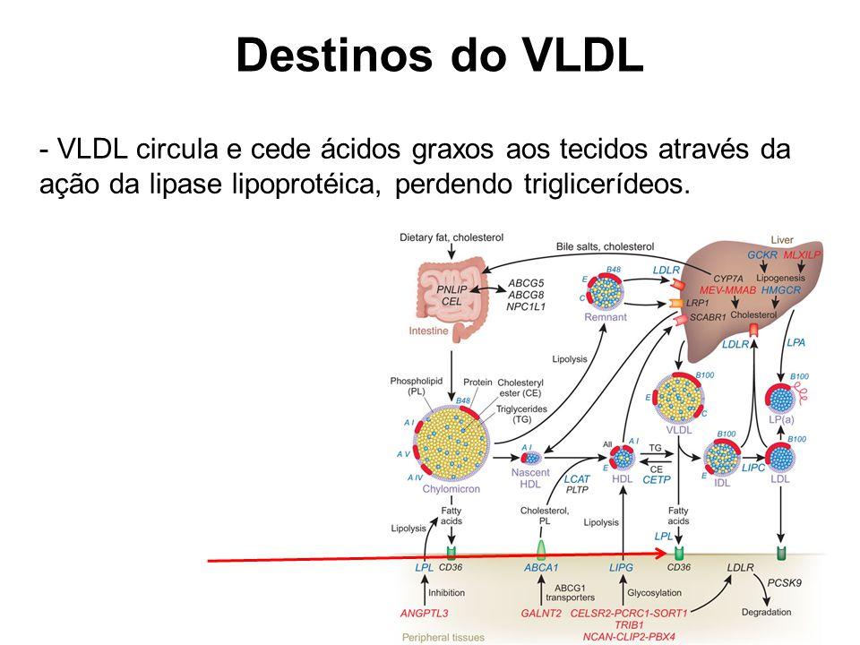 Destinos do VLDL - VLDL circula e cede ácidos graxos aos tecidos através da ação da lipase lipoprotéica, perdendo triglicerídeos.