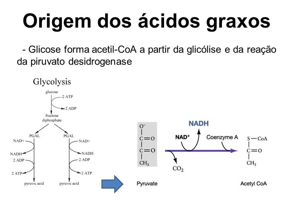 Origem dos ácidos graxos - Glicose forma acetil-CoA a partir da glicólise e da reação da piruvato desidrogenase
