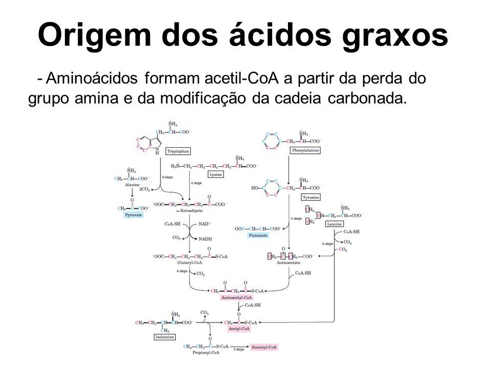 Origem dos ácidos graxos - Aminoácidos formam acetil-CoA a partir da perda do grupo amina e da modificação da cadeia carbonada.
