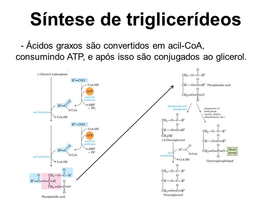 Síntese de triglicerídeos - Ácidos graxos são convertidos em acil-CoA, consumindo ATP, e após isso são conjugados ao glicerol.