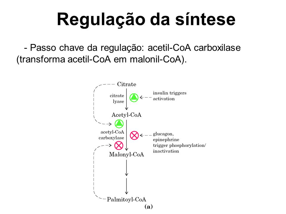 Regulação da síntese - Passo chave da regulação: acetil-CoA carboxilase (transforma acetil-CoA em malonil-CoA).