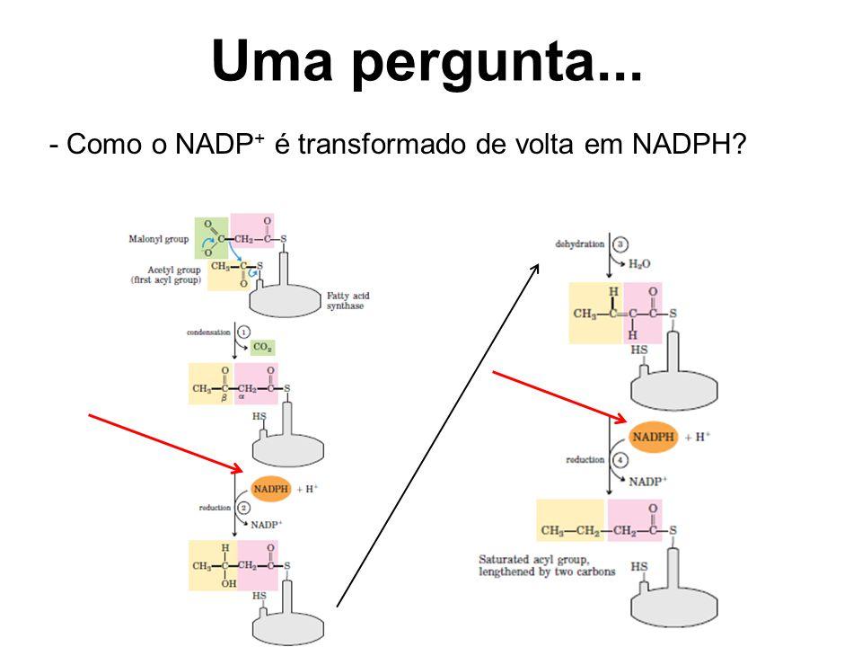 Uma pergunta... - Como o NADP + é transformado de volta em NADPH?