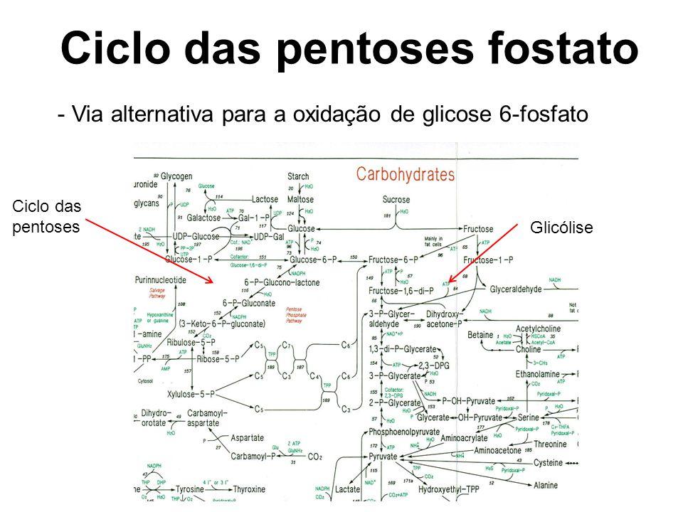 Ciclo das pentoses fostato - Via alternativa para a oxidação de glicose 6-fosfato Glicólise Ciclo das pentoses