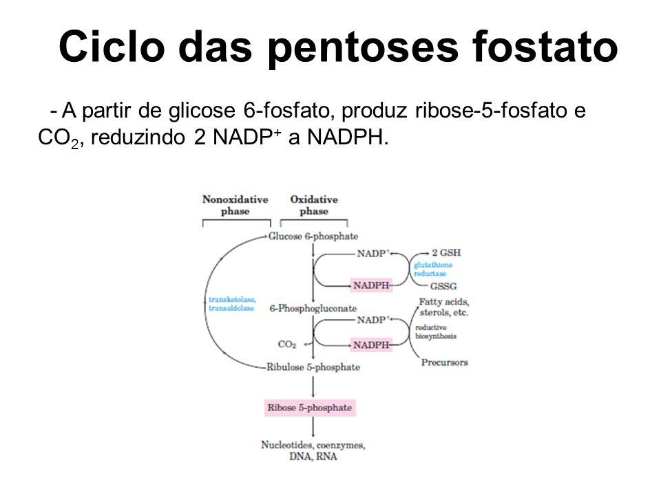 Ciclo das pentoses fostato - A partir de glicose 6-fosfato, produz ribose-5-fosfato e CO 2, reduzindo 2 NADP + a NADPH.