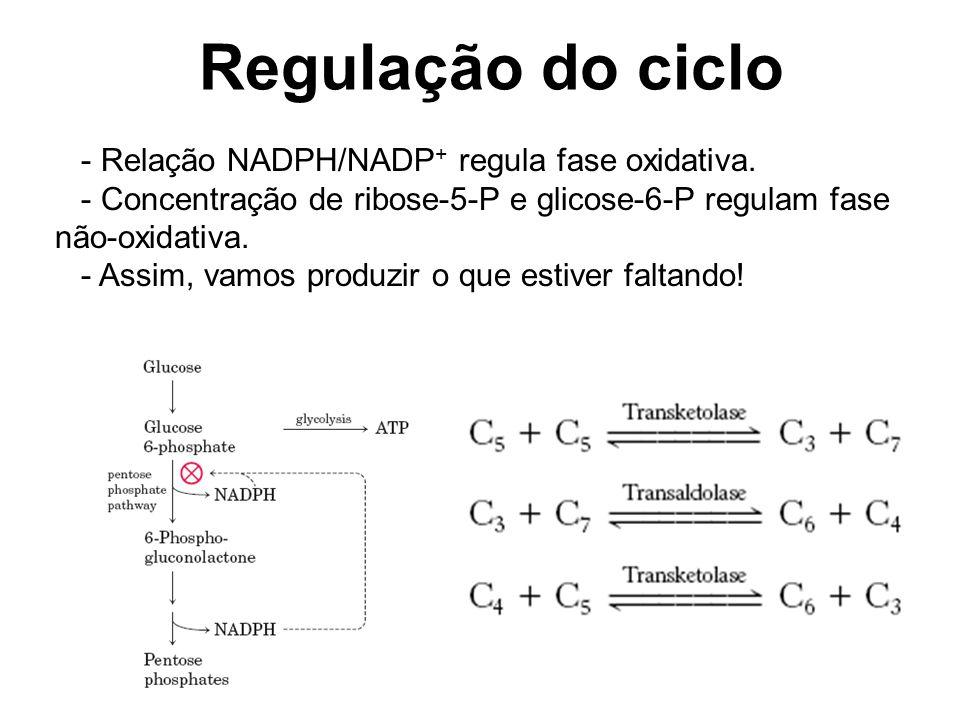 Regulação do ciclo - Relação NADPH/NADP + regula fase oxidativa.