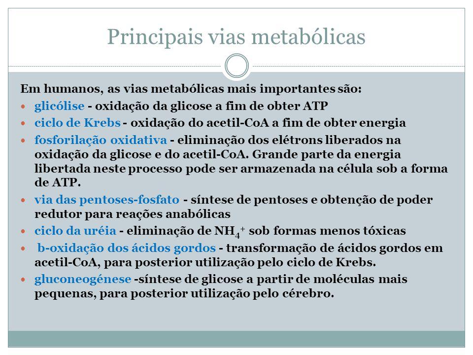 Principais vias metabólicas Em humanos, as vias metabólicas mais importantes são: glicólise - oxidação da glicose a fim de obter ATP ciclo de Krebs -