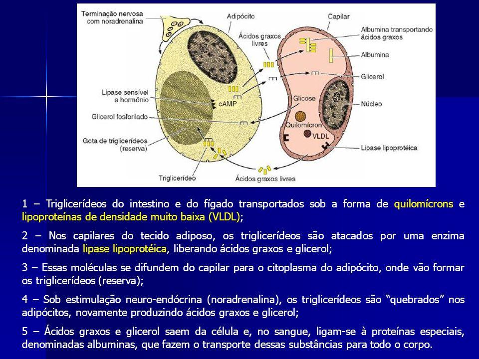 1 – Triglicerídeos do intestino e do fígado transportados sob a forma de quilomícrons e lipoproteínas de densidade muito baixa (VLDL); 2 – Nos capilares do tecido adiposo, os triglicerídeos são atacados por uma enzima denominada lipase lipoprotéica, liberando ácidos graxos e glicerol; 3 – Essas moléculas se difundem do capilar para o citoplasma do adipócito, onde vão formar os triglicerídeos (reserva); 4 – Sob estimulação neuro-endócrina (noradrenalina), os triglicerídeos são quebrados nos adipócitos, novamente produzindo ácidos graxos e glicerol; 5 – Ácidos graxos e glicerol saem da célula e, no sangue, ligam-se à proteínas especiais, denominadas albuminas, que fazem o transporte dessas substâncias para todo o corpo.