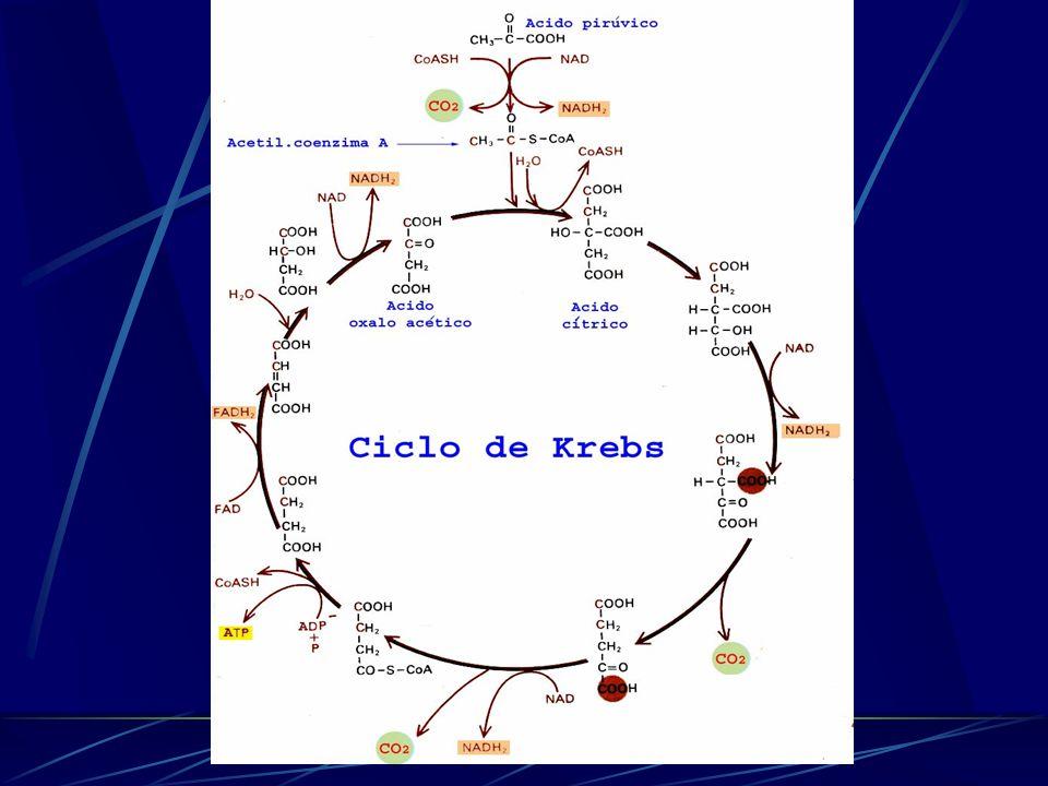 Ciclo de Krebs Ciclo do ácido cítrico Matriz mitocondrial Ativado pela Acetil CoA Grande liberação de elétrons