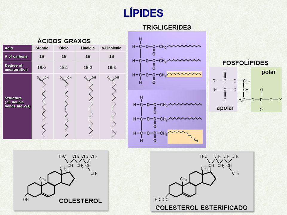 LÍPIDES ÁCIDOS GRAXOS TRIGLICÉRIDES H3CH3C CH CH 3 OH CH 2 CH 3 CH 2 CH CH 2 CH 3 COLESTEROL H3CH3C CH CH 3 R-CO-O CH 2 CH 3 CH 2 CH CH 2 CH 3 COLESTEROL ESTERIFICADO FOSFOLÍPIDES R1R1 R2R2 COCH 2 CH O C O H2CH2CO O POX O-O- O polar apolar
