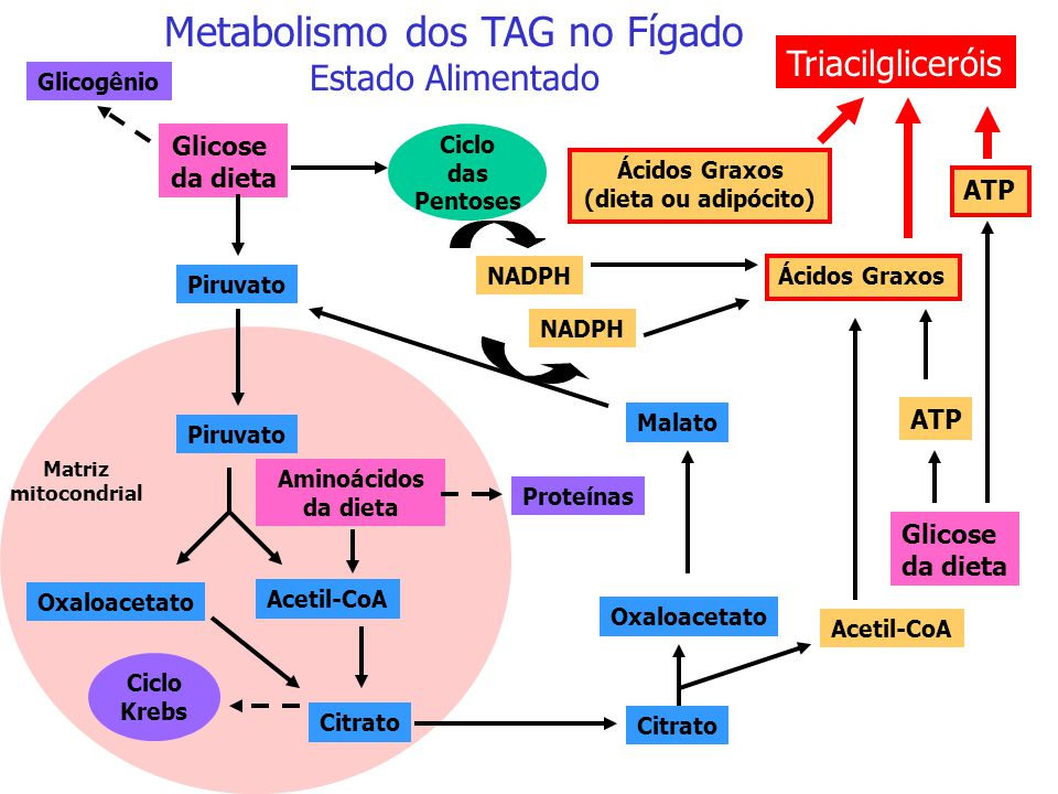 TG = triacilglicerol C = colesterol Apo E Metabolismo da VLDL