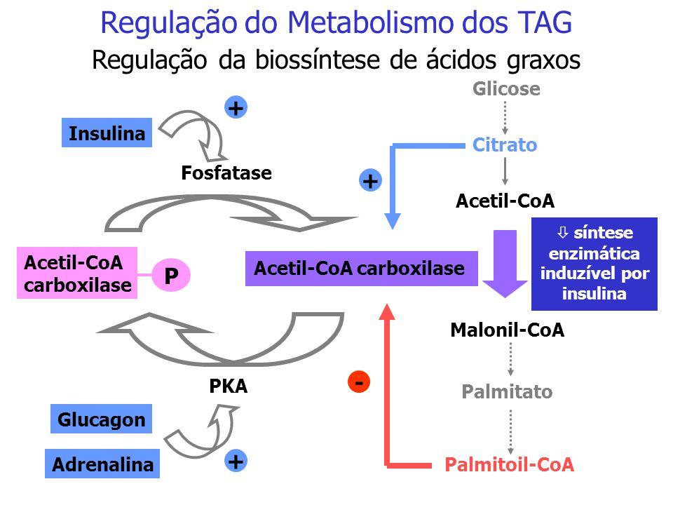 A insulina ativa a biossíntese de ácidos graxos Glicose Piruvato Oxaloacetato Acetil-CoA Citrato Oxaloacetato Acetil-CoA Malato  Citrato liase  Enzi