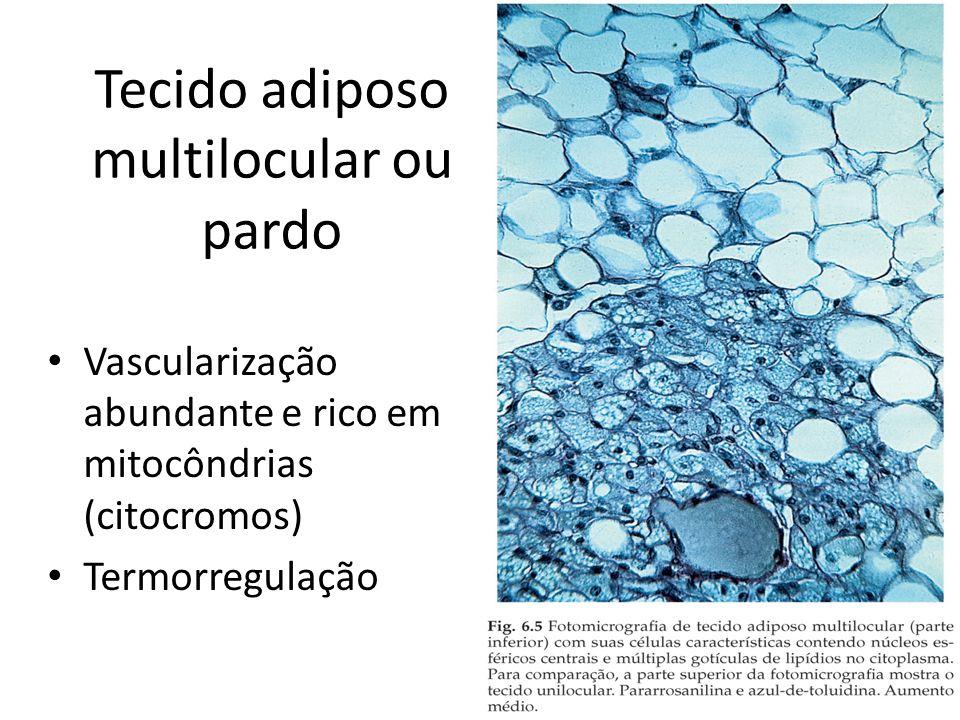 Tecido adiposo multilocular ou pardo Vascularização abundante e rico em mitocôndrias (citocromos) Termorregulação