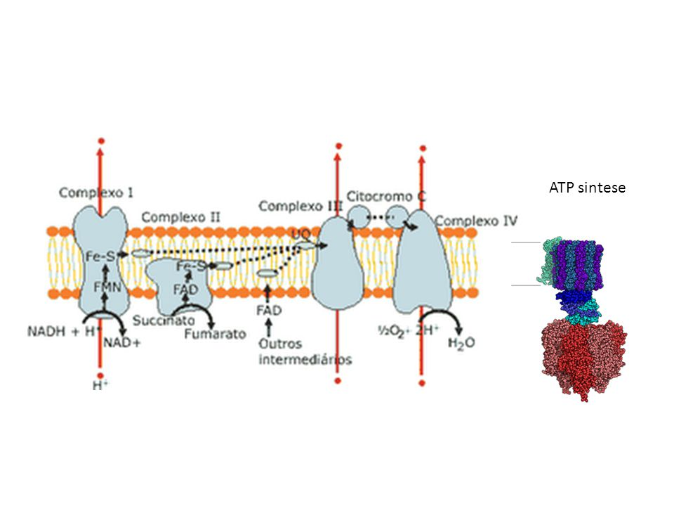 ATP sintese