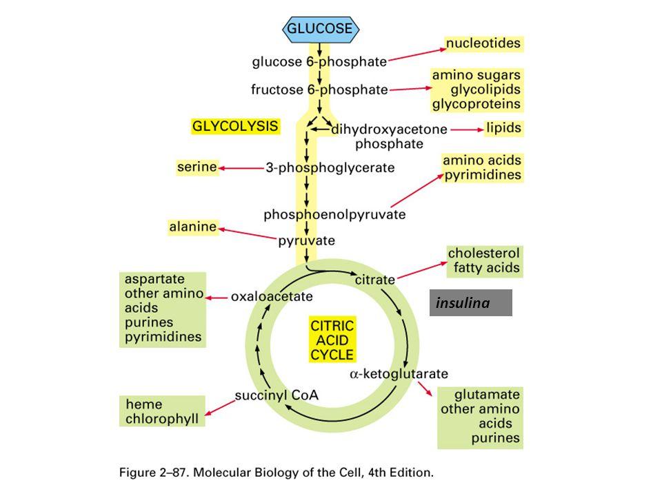 Hidrólise de triglicerídios Ácidos graxos – albumina Glicerol Depósitos subcutâneos, mesentério, retroperitoneais e coxins.