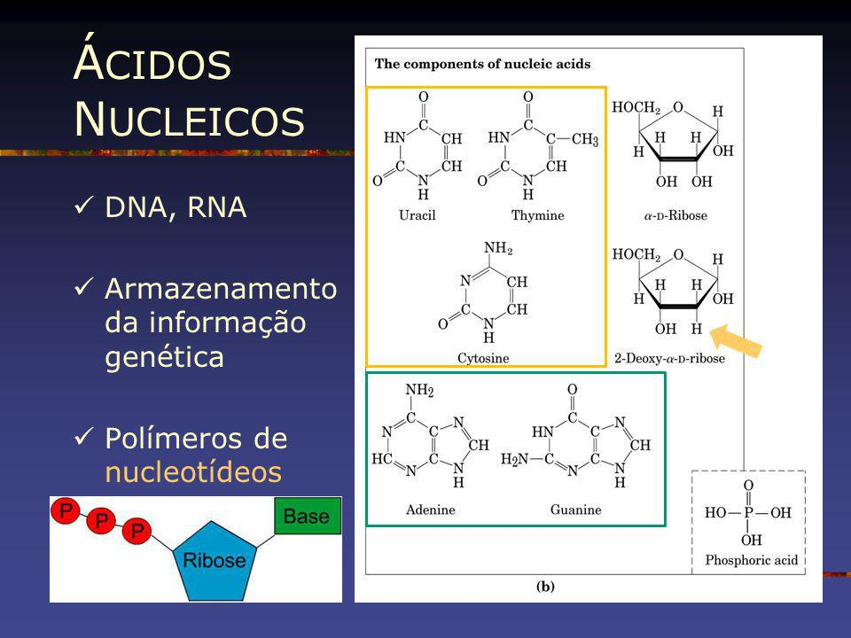 Á CIDOS N UCLEICOS DNA, RNA Armazenamento da informação genética Polímeros de nucleotídeos