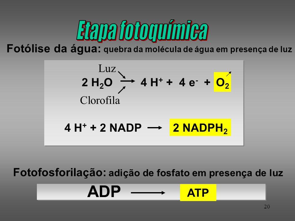20 Fotólise da água: quebra da molécula de água em presença de luz Luz Clorofila Fotofosforilação: adição de fosfato em presença de luz ATP ADP O2O2 2