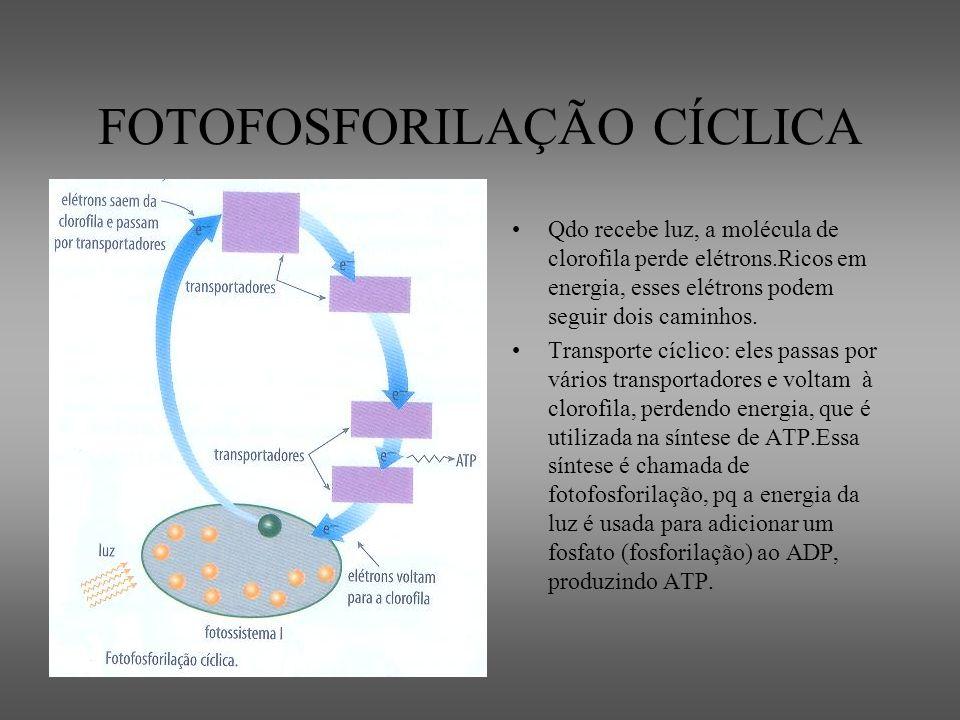 FOTOFOSFORILAÇÃO CÍCLICA Qdo recebe luz, a molécula de clorofila perde elétrons.Ricos em energia, esses elétrons podem seguir dois caminhos. Transport