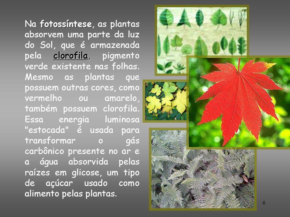 6 fotossíntese clorofila, Na fotossíntese, as plantas absorvem uma parte da luz do Sol, que é armazenada pela clorofila, pigmento verde existente nas