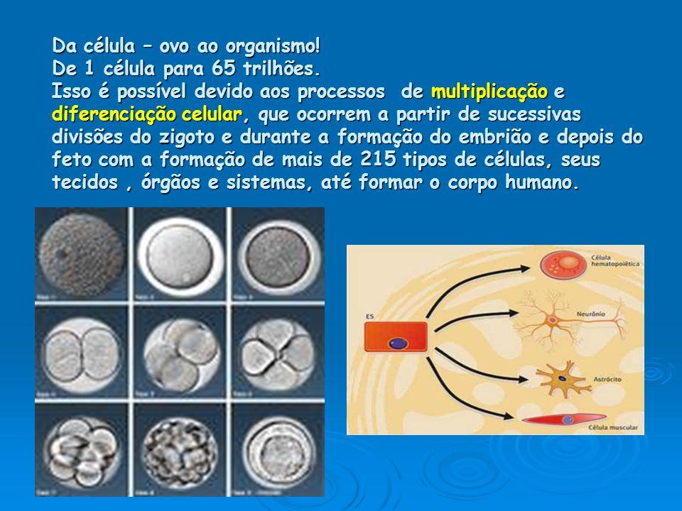 Da célula – ovo ao organismo! De 1 célula para 65 trilhões. Isso é possível devido aos processos de multiplicação e diferenciação celular, que ocorrem