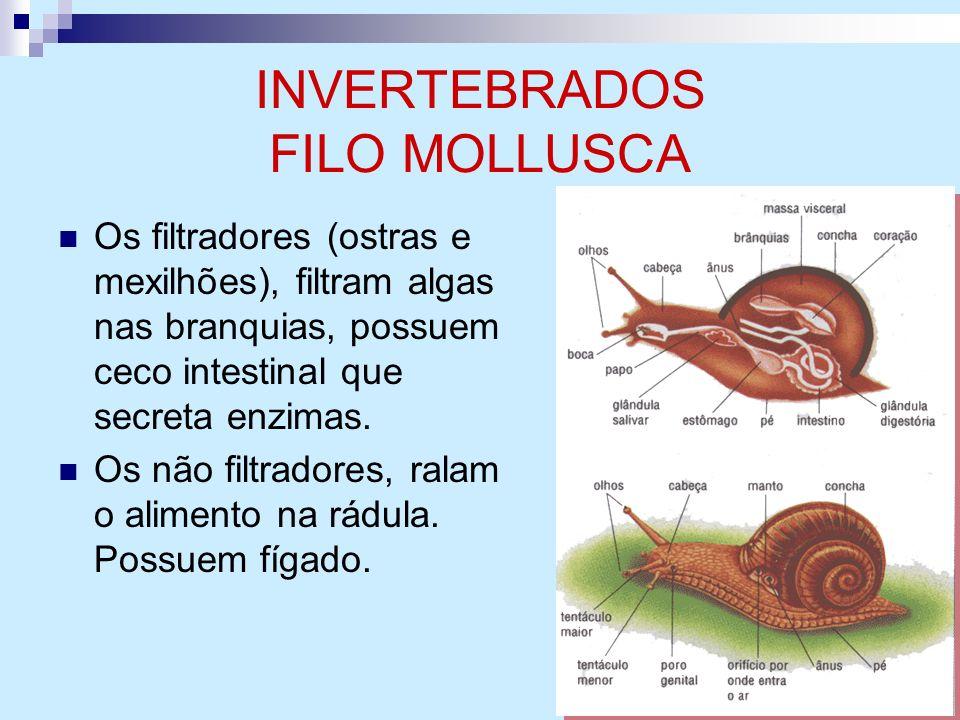 INVERTEBRADOS FILO MOLLUSCA Os filtradores (ostras e mexilhões), filtram algas nas branquias, possuem ceco intestinal que secreta enzimas. Os não filt