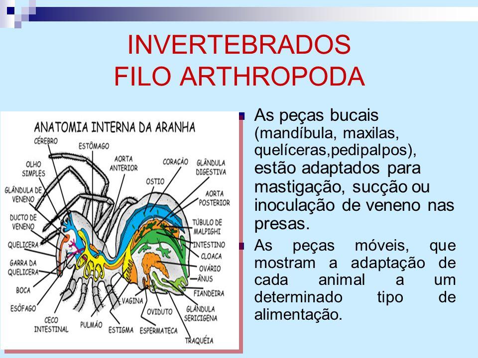 INVERTEBRADOS FILO ARTHROPODA As peças bucais (mandíbula, maxilas, quelíceras,pedipalpos), estão adaptados para mastigação, sucção ou inoculação de ve
