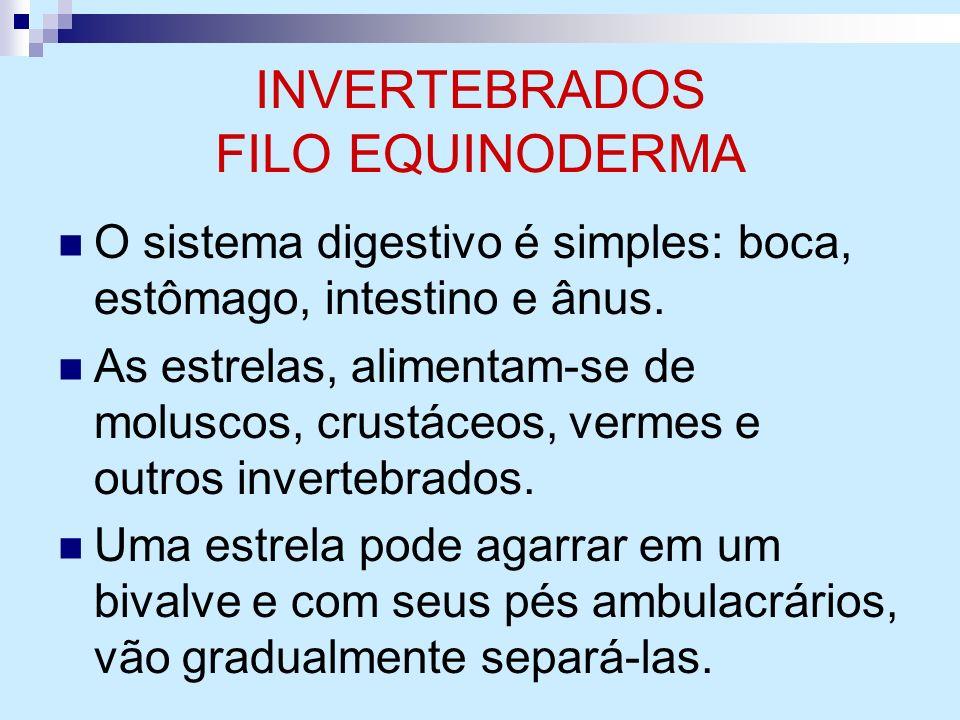 INVERTEBRADOS FILO EQUINODERMA O sistema digestivo é simples: boca, estômago, intestino e ânus. As estrelas, alimentam-se de moluscos, crustáceos, ver