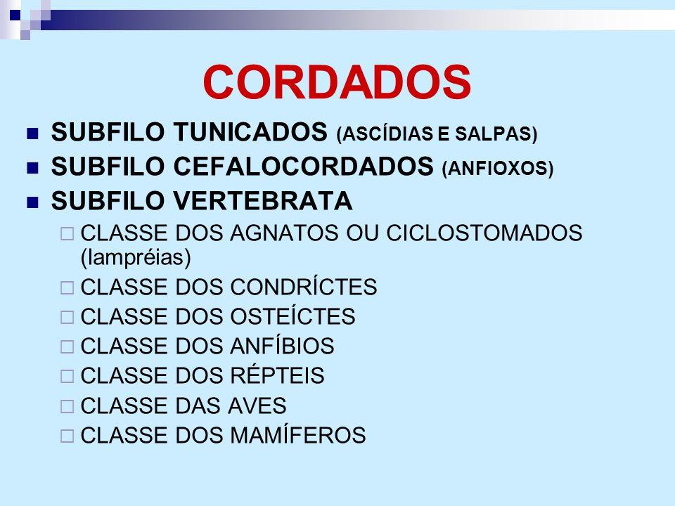 CORDADOS SUBFILO TUNICADOS (ASCÍDIAS E SALPAS) SUBFILO CEFALOCORDADOS (ANFIOXOS) SUBFILO VERTEBRATA CLASSE DOS AGNATOS OU CICLOSTOMADOS (lampréias) CL
