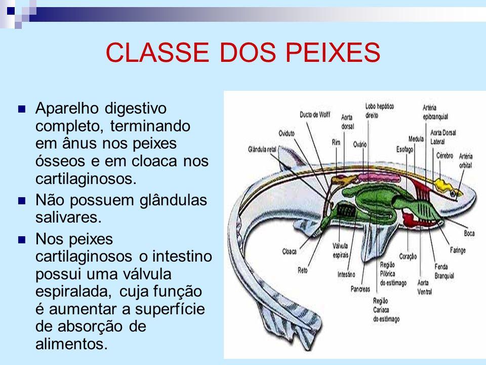 CLASSE DOS PEIXES Aparelho digestivo completo, terminando em ânus nos peixes ósseos e em cloaca nos cartilaginosos. Não possuem glândulas salivares. N