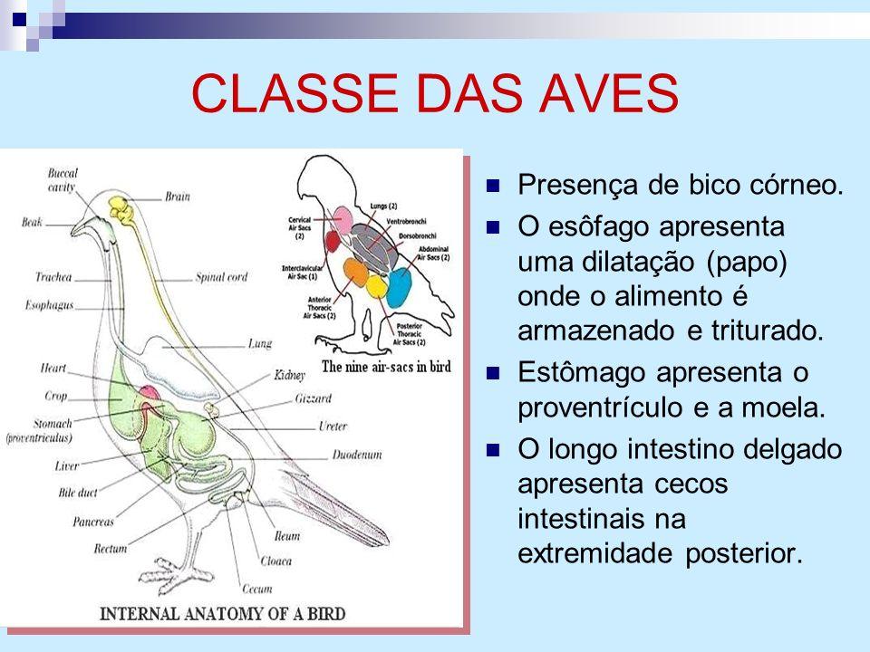 CLASSE DAS AVES Presença de bico córneo. O esôfago apresenta uma dilatação (papo) onde o alimento é armazenado e triturado. Estômago apresenta o prove