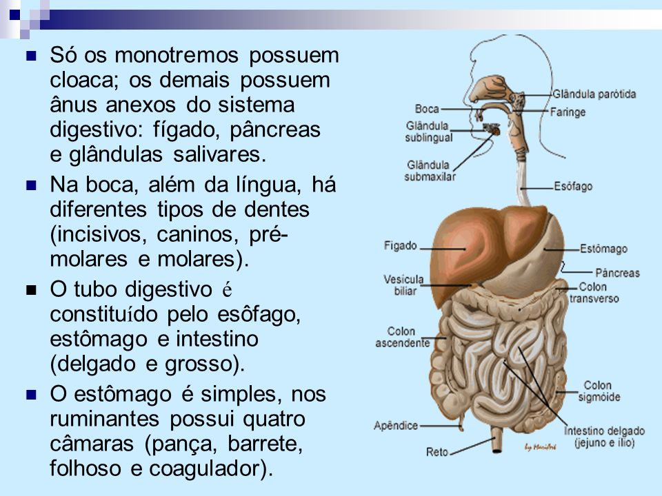 Só os monotremos possuem cloaca; os demais possuem ânus anexos do sistema digestivo: fígado, pâncreas e glândulas salivares. Na boca, além da língua,